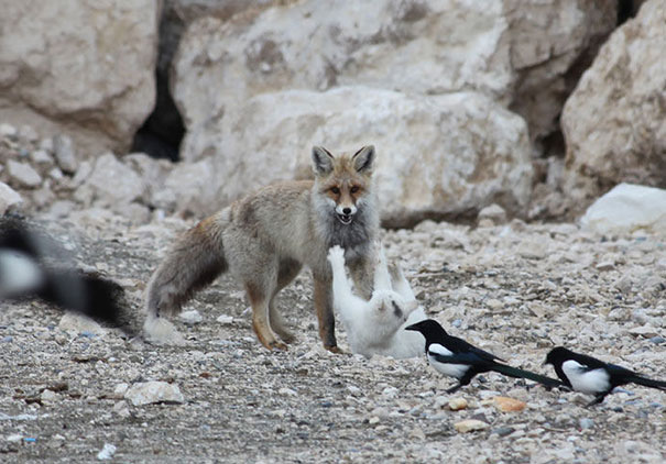 cat-fox2